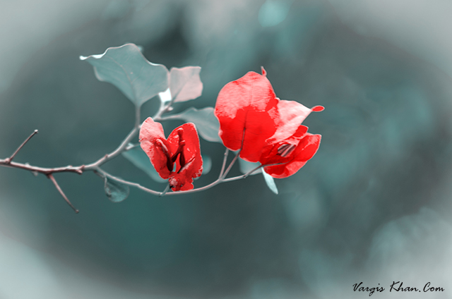 vargis-khan-photography-red-flower-1.JPG