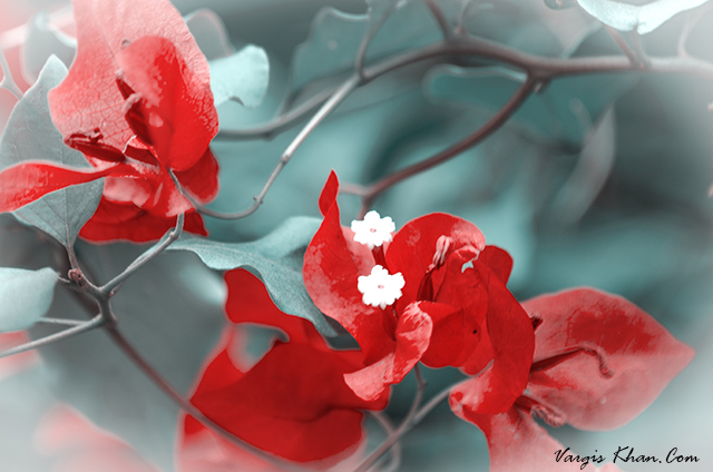 vargis-khan-photography-red-flower-2.JPG