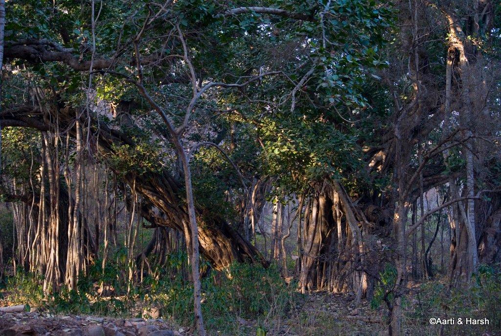 tiger-sighting-in-ranthambore-4.jpg