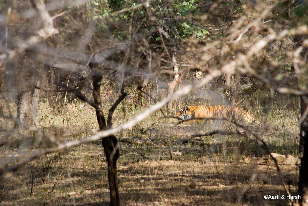 tiger-sighting-in-ranthambore-15.jpg