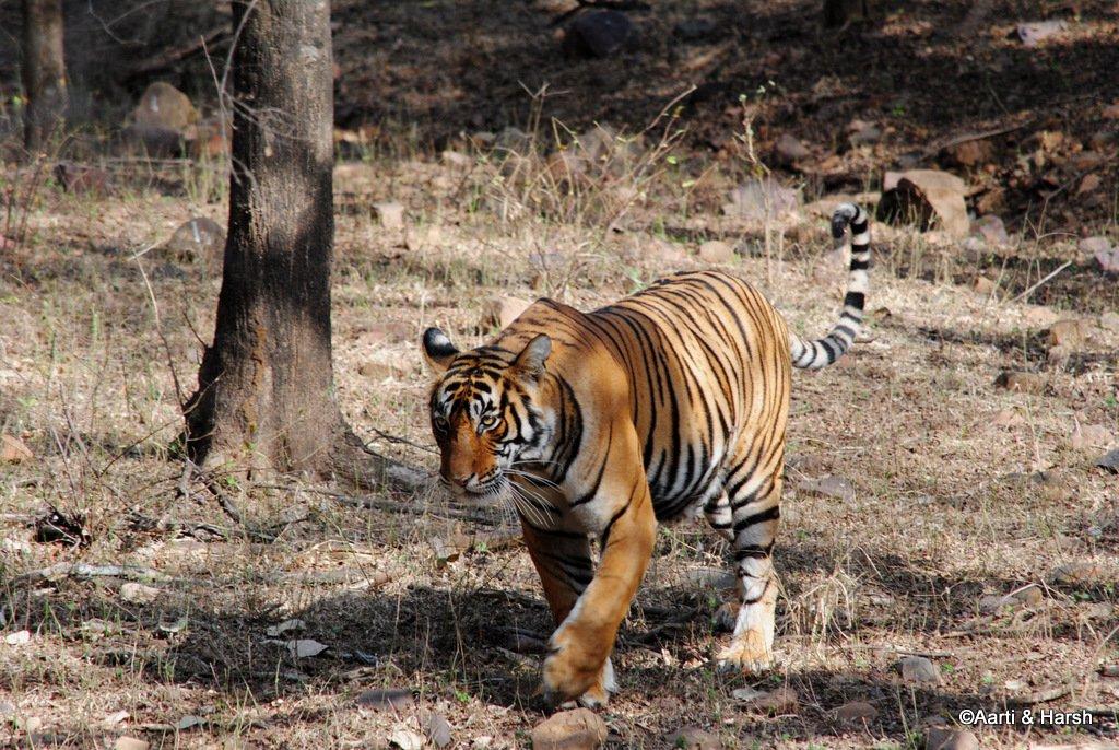 tiger-sighting-in-ranthambore-17.jpg