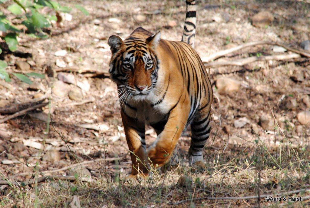 tiger-sighting-in-ranthambore-18.jpg