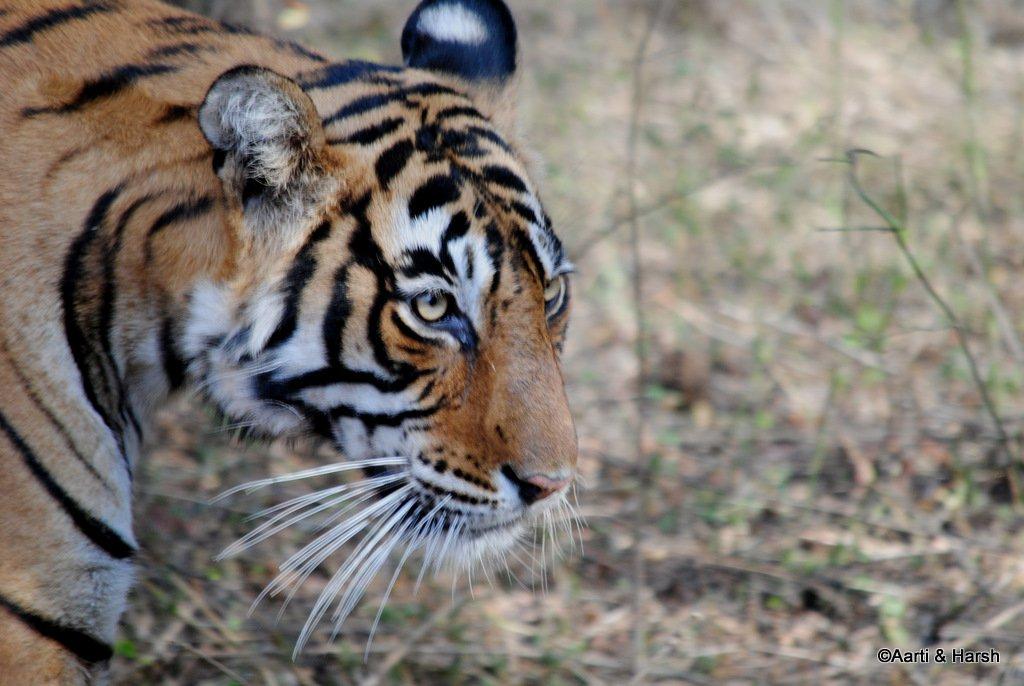 tiger-sighting-in-ranthambore-19.jpg