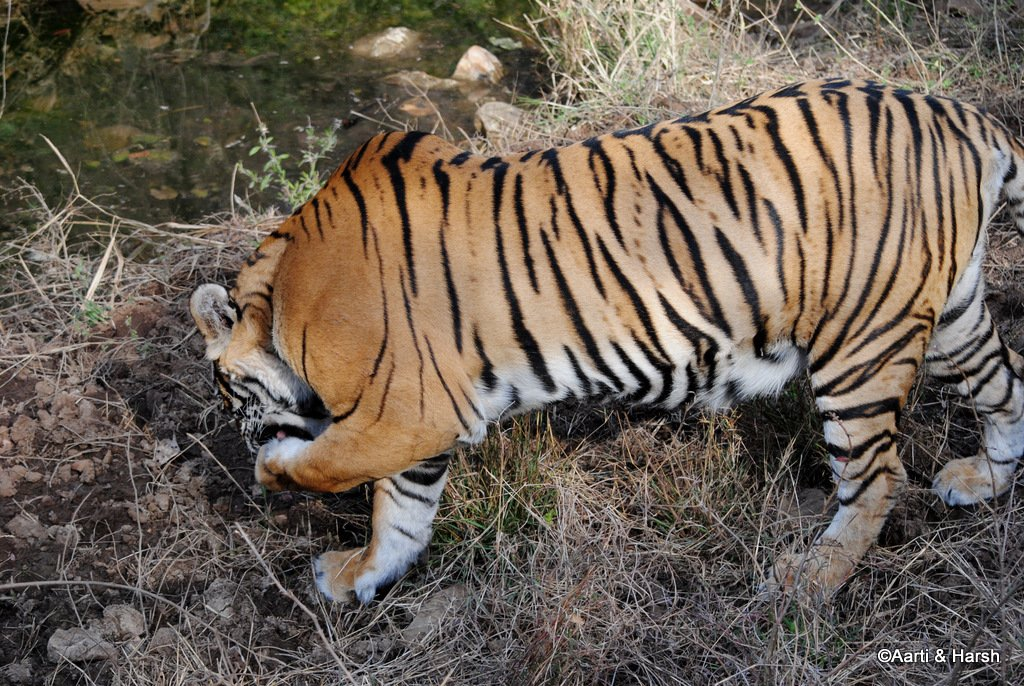 tiger-sighting-in-ranthambore-21.jpg