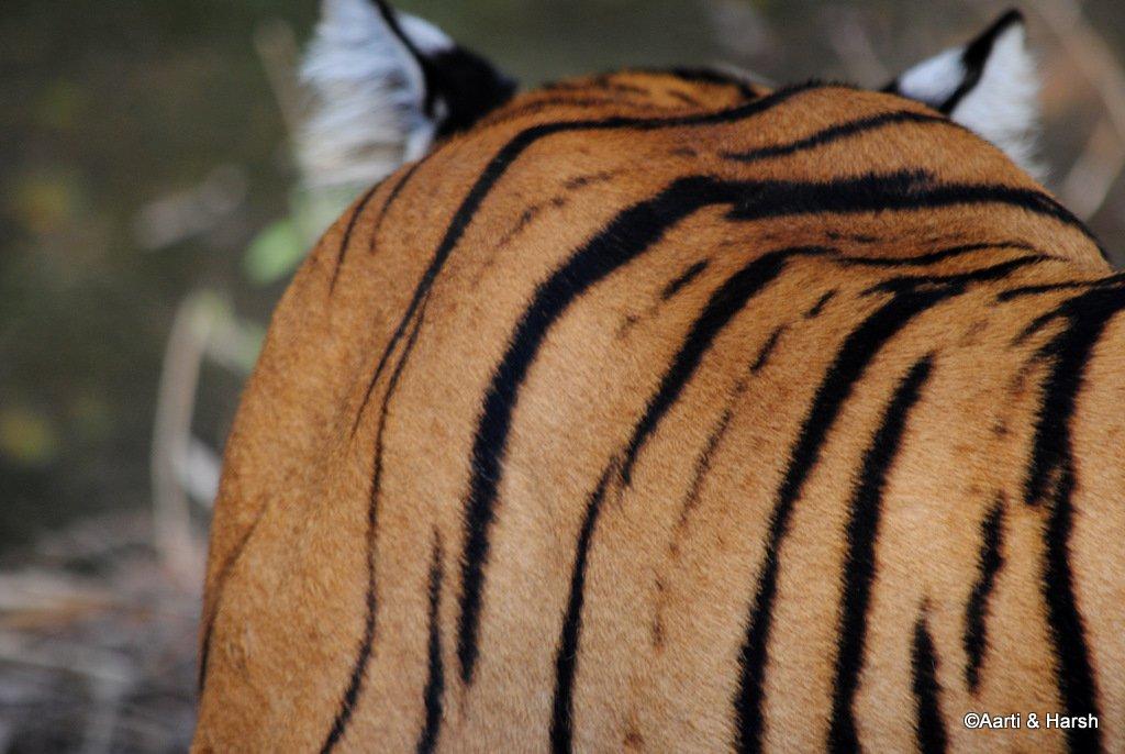 tiger-sighting-in-ranthambore-22.jpg