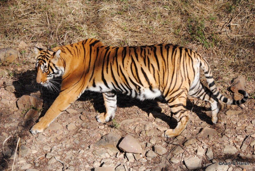 tiger-sighting-in-ranthambore-23.jpg