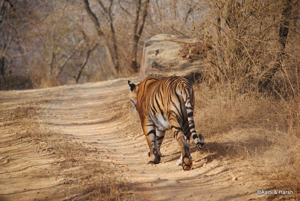 tiger-sighting-in-ranthambore-24.jpg