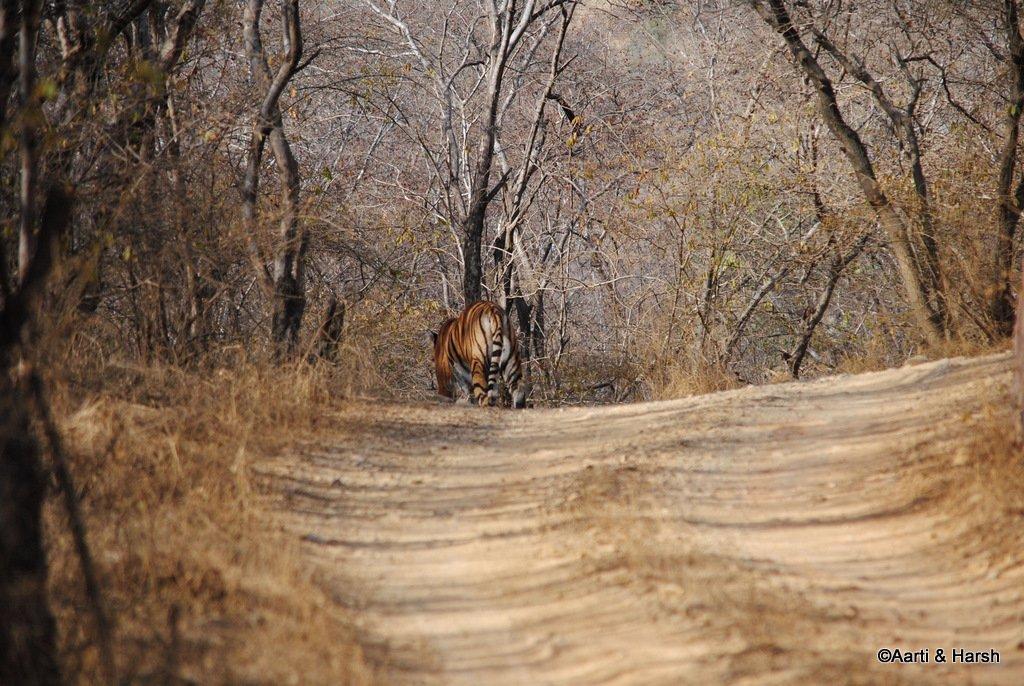 tiger-sighting-in-ranthambore-25.jpg