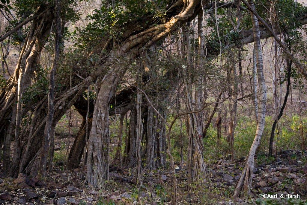 ranthambore-tiger-safari-1.jpg