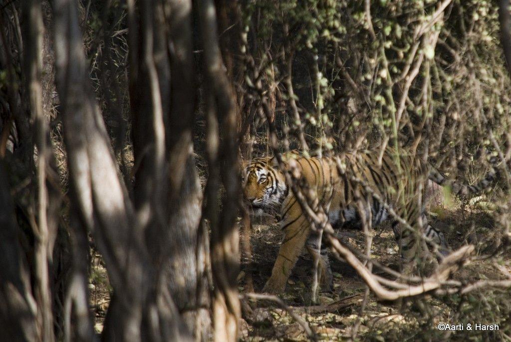 tigers-of-ranthambore-2.JPG