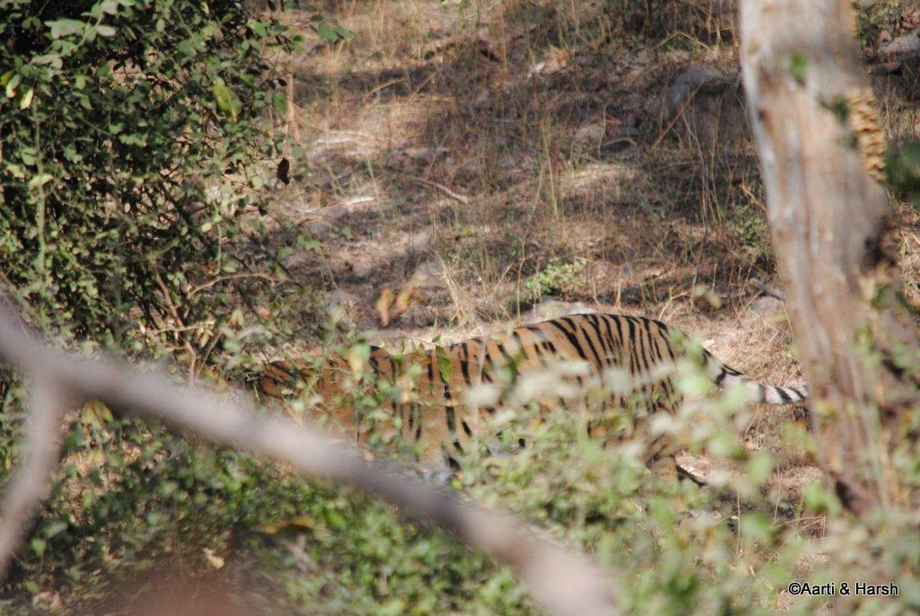 tigers-of-ranthambore-3.JPG