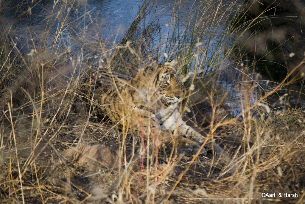machhli-tigress-1.JPG