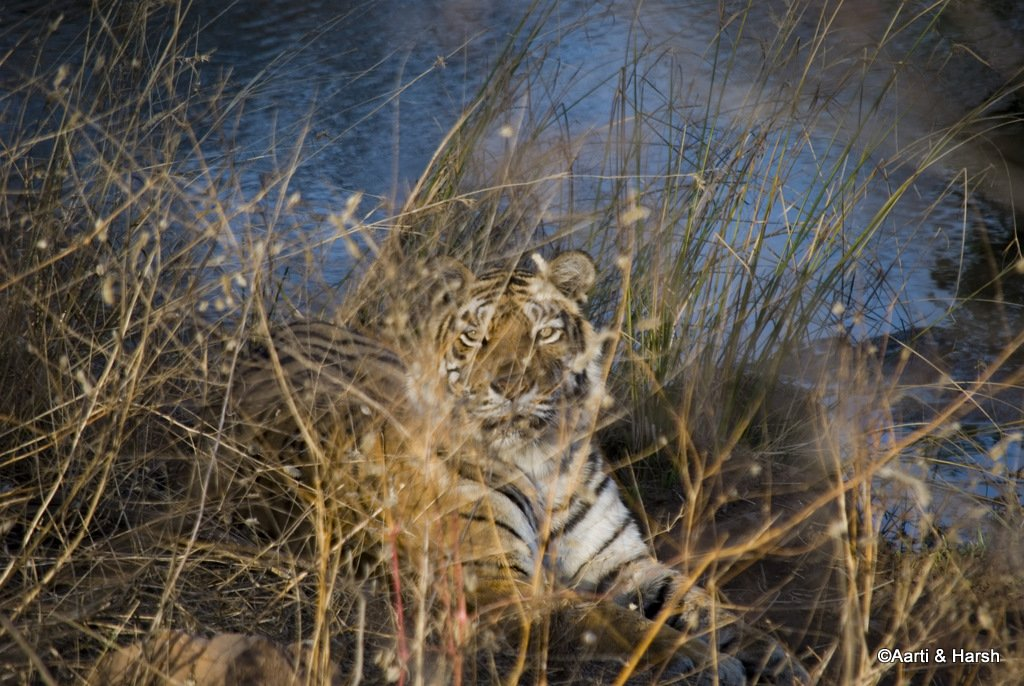 machhli-tigress-2.JPG